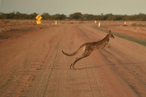 Mand er anholdt for at køre 20 kænguruer ihjel i Australien