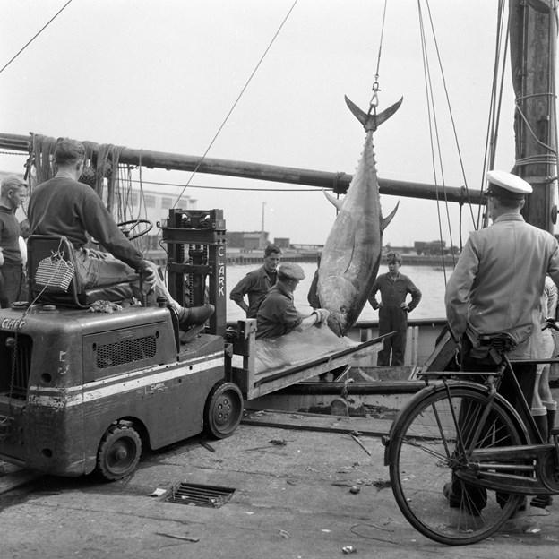 I 1920'erne og frem til 1960'erne var Skagen centrum for tunfiskeri i Danmark. Lykkes det, at få en stor bestand af tun, som må fanges, kan Skagen igen blive attraktiv for mange fiskere, der drømmer om at fange den flotte trofæfisk. Foto: Scanpix