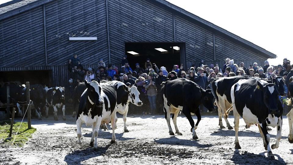 Sidste år mødte over 200.000 danskere op på gårdene for at opleve køerne danse ud på græsset. Formand for Økologisk Landsforening Per Kølster gætter på, at lige så mange danskere i år har taget turen til gårdene for at opleve det, der også bliver kaldet køernes forårsfest.