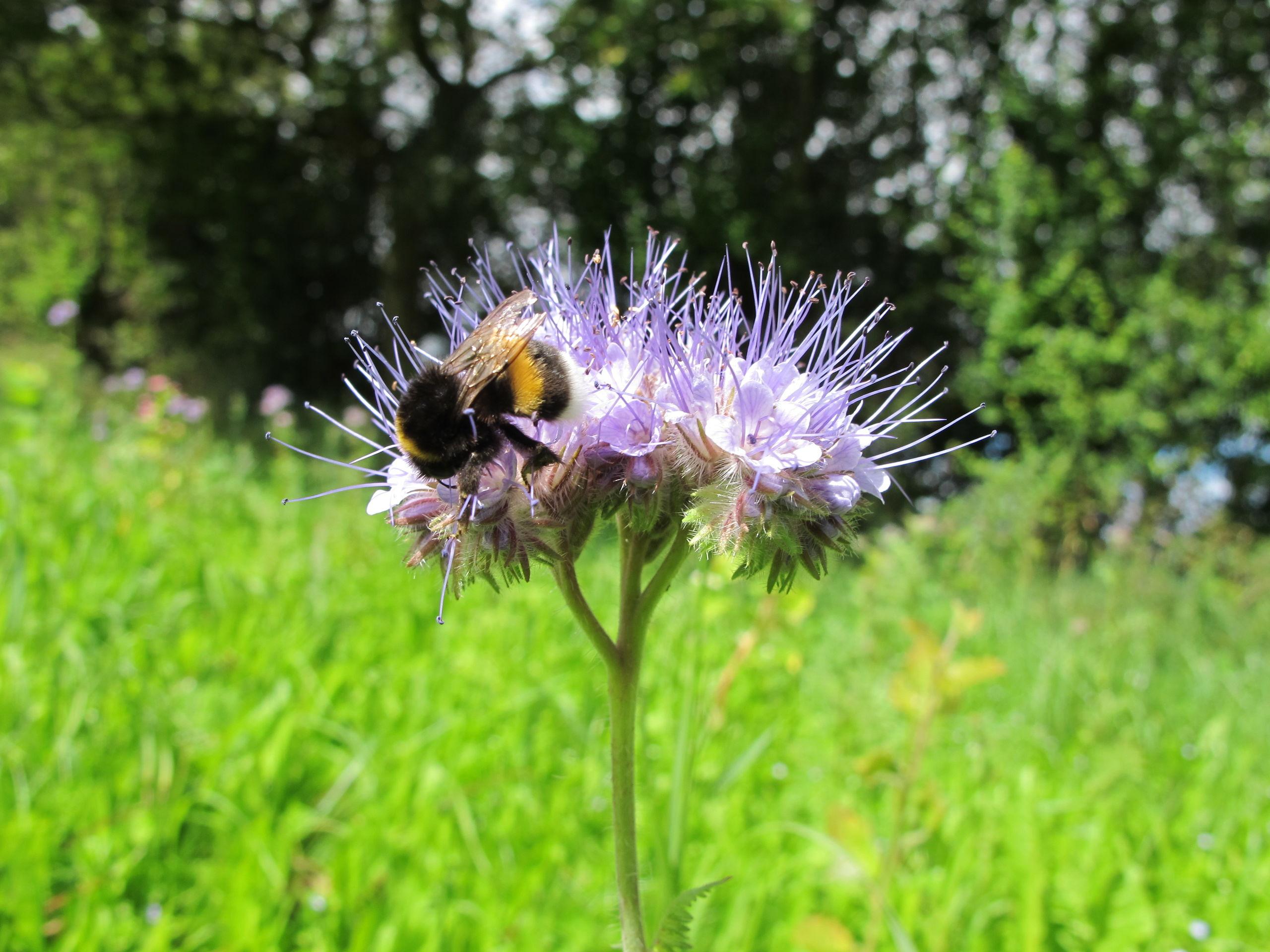 Hjælp til trængte bier: Du kan få gratis blomsterfrø i april