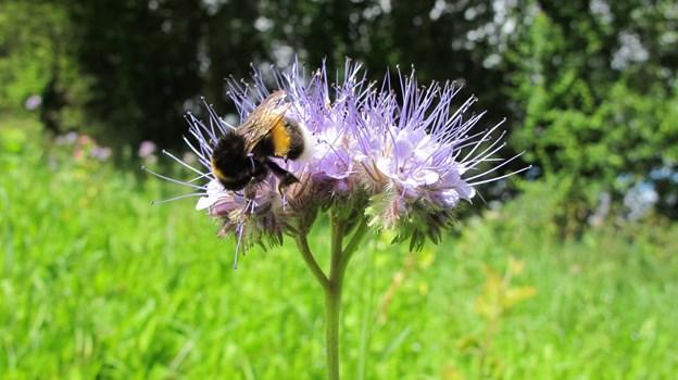 Du kan både hjælpe bierne og få en smuk have eller altankasse, når Økologisk Landsforening i samarbejde med Bilka, Føtex og nemlig.com uddeler frøblandinger. PR Foto