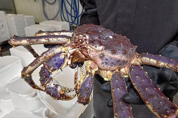 Kongekrabben, som kan veje op til 10 kilo, har spredt sig efter indførsel til Murmansk. Også ind på norskekysten ved grænsen, hvor den er blevet en ny indtægtskilde for norske fiskere. Foto: Ole Iversen