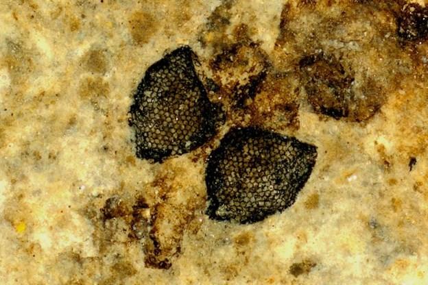 Fossiler fundet i Nordjylland sår tvivl om synets udviklingshistorie