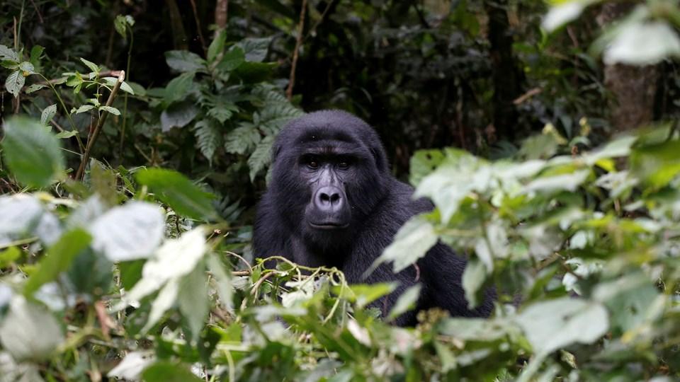 En optælling viser markant fremgang i bestanden af bjerggorillaer. Nu findes der over 1000 i verden, lyder det fra WWF Verdensnaturfonden. Foto: Baz Ratner/arkiv/Reuters