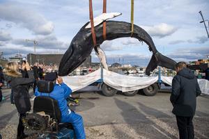 Pukkelhval skæres op: Publikum inviteres til et kig på hvalens liv og død