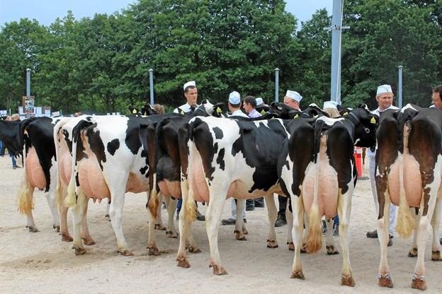 """Kvaliteten af de udstillede dyr plejer traditionelt at være helt i top på dyrskuet i Hobro, og også i år er der udsigt til at se nogle af landets allerbedste malkekøer i ringen på Ambu-pladsen sidst i juli. Skuet smukkeste ko kan oven i købet i år se frem til at smykke sig med titlen """"Miss Hobro"""".  Privatfoto"""