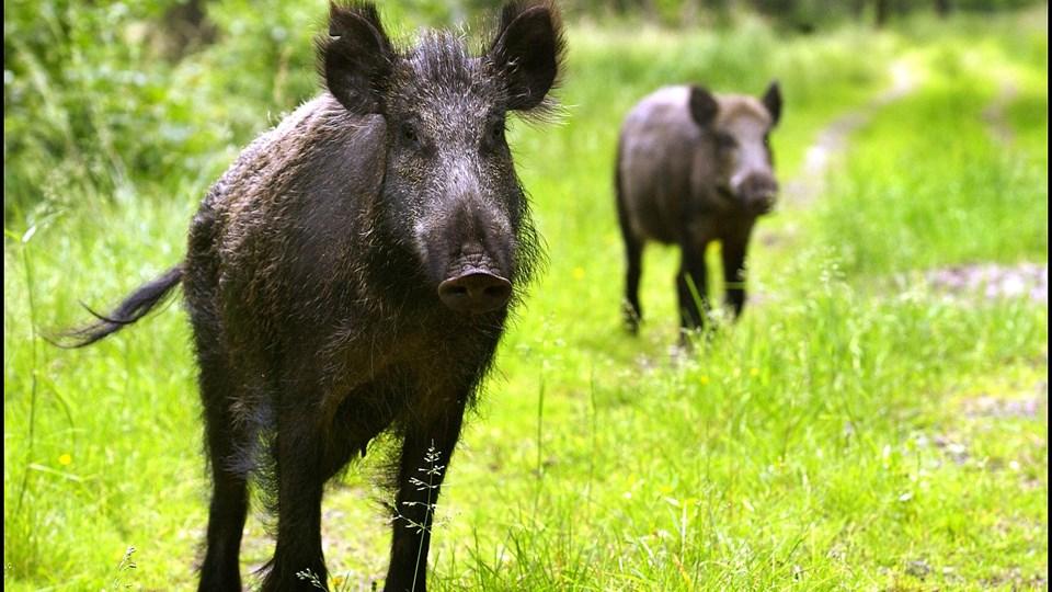 Mens partierne i blå blok er enige om at etablere et vildsvinehegn ved grænsen for at holde svinepest ude af Danmark og dermed beskytte dansk svineeksport, er der utilfredshed at spore hos det tyske mindretal i Sønderjylland. Foto: Scanpix/Morten Juhl/arkiv