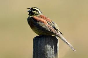 Lille fugl besøger Danmark for første gang i over 20 år: Den er topsjælden