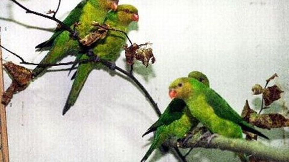 Der var masser af flotte, farvestrålende fugle på udstillingen i Skovsgård.arkivfoto