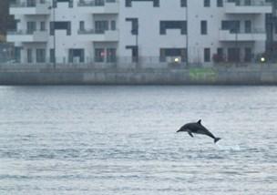 Se video: Delfin i havnen i Aalborg