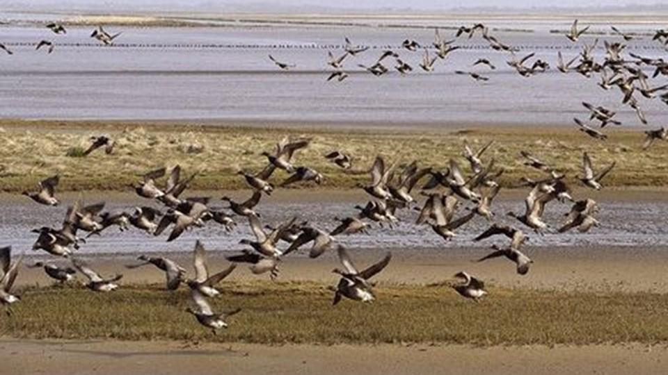 Indsatsen for at vende den voldsomme tilbagegang for fuglelivet i Tøndermarsken har hjulpet. ARKIVFOTO: Scanpix