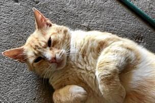 Røde dukkede mager og forslået op i Carl Ejners have: Nu tæller han ned til at kunne kalde den for sin kat