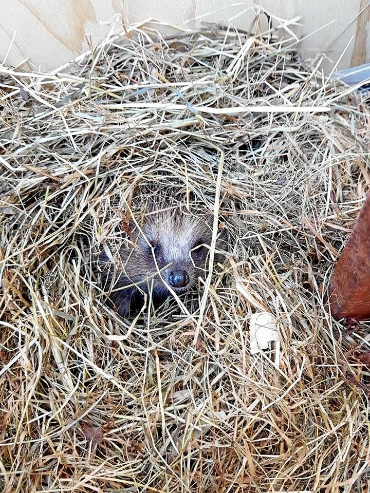 Pindsvin bygger rede af visset græs og blade. Privatfoto