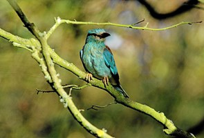Ellekragen - en sjælden fugl