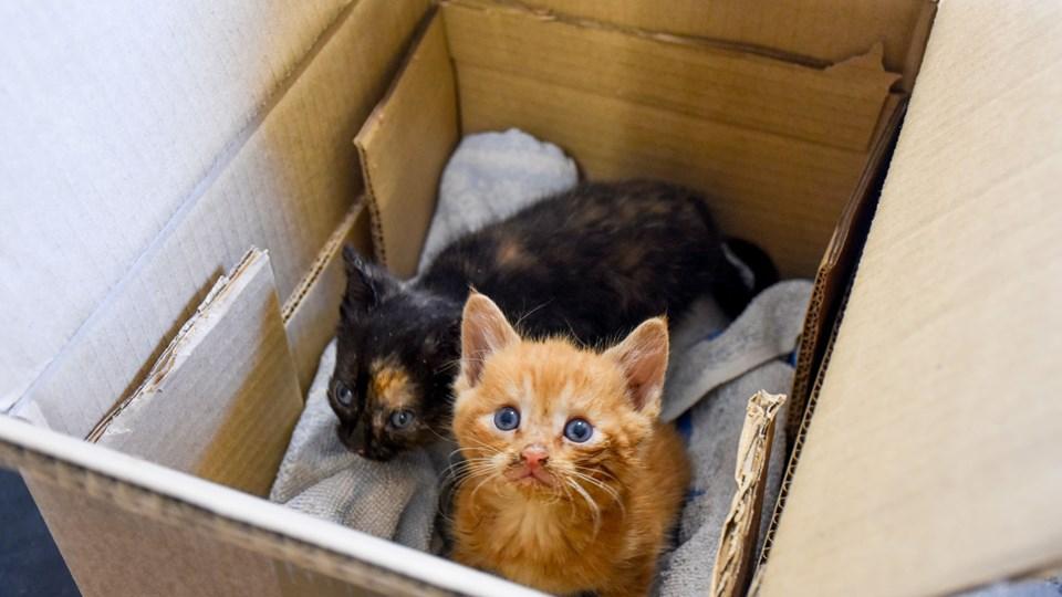I år er antallet af indleverede katte til Dyrenes Beskyttelses internater steget med 24 procent. Selv om det er ulovligt, bliver katte og killinger fundet i papkasser, poser og sluppet løs i naturen. En kattelov ville sidestille katten med hunden og give den en bedre status. Foto: Dyrenes Beskyttelse. Free
