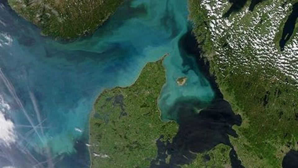 Danmarks farvande har flere gange været under søgeren på NASAs satellitter. Her er det sommeren 2004, hvor de lyseblå og azurgrønne strømme afslører en kraftig vækst af plankton. FOTO: NASA