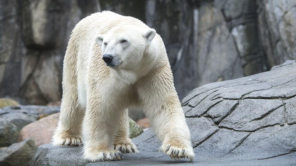 En enig magistrat er klar til at støtte et nyt Grønlands-område i Aalborg Zoo med 10 mio. kr. Arkivfoto: Laura Guldhammer