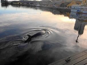 Kom og se: Nu skal hvalen skæres op