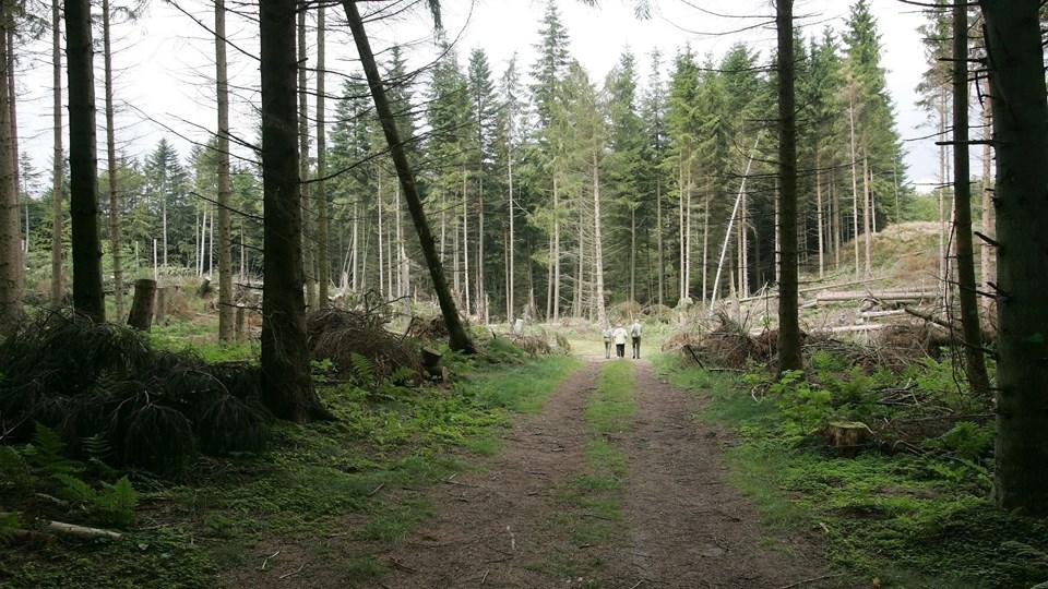 95 hektar skov bliver fredet, hvis det står til flertallet i byrådet. Men på den betingelse, at der vil kunne gives dispensation til et vandværk i området. Arkivfoto: Kurt Bering