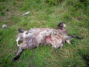 Får blev fundet død ved Tversted: Nu raser ulvedebatten igen
