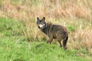 Pletskud af ulv: - Pludselig stod den og kiggede på mig