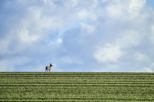 I år har Dyrenes Beskyttelse allerede modtaget omkring 15 procent flere henvendelser om hjortepåkørsler end ved samme tid sidste år. Arkivfoto: Michael Koch