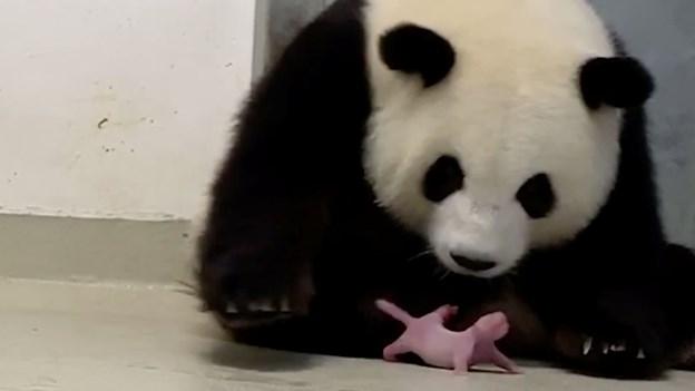Berlin fejrer fødsel af to pandaunger i zoo