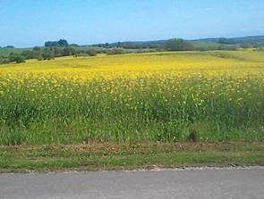 Det gule landskab har bredt sig