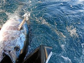 Dyrskue - nu med tunfisk