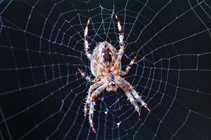 Forsker: Derfor skal du ikke slå edderkopperne i dit hjem ihjel