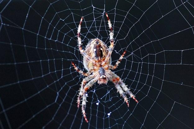 Edderkop fik bilist til at køre i grøften