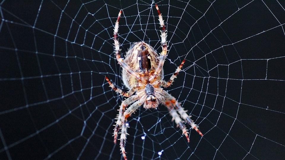Det vides ikke, hvilken edderkop det var, som forstyrrede bilisten på Hovedvejen i Guldager, men forstyrret, det blev han. Arkivfoto