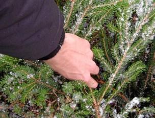 Kommune deler ud: Kom og hent et gratis juletræ