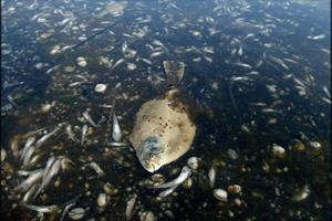 Havbiolog om ny rapport: De værste iltsvind i 15 år