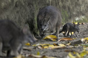 Kængurus springtur i Sydjylland er slut
