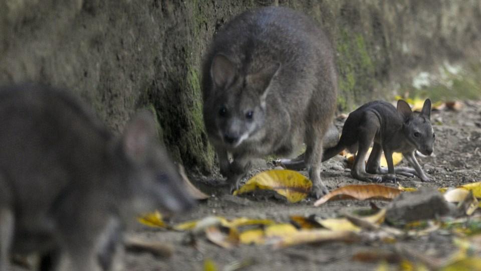 Lørdag aften stak en wallaby kænguru af fra sit hjem i Sydjylland, men den er søndag formiddag tilbage i god behold. På billedet ses en wallaby kænguru i en zoologisk have i Colombia i 2012.